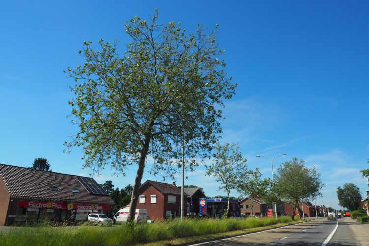 Bladvlekkenziekte plataan Houthalen-Helchteren