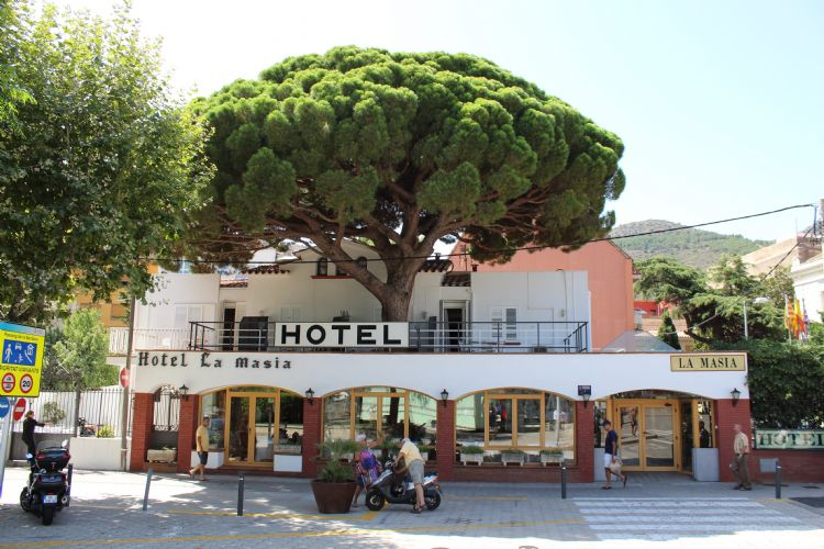 Foto 13: Pinus pinea