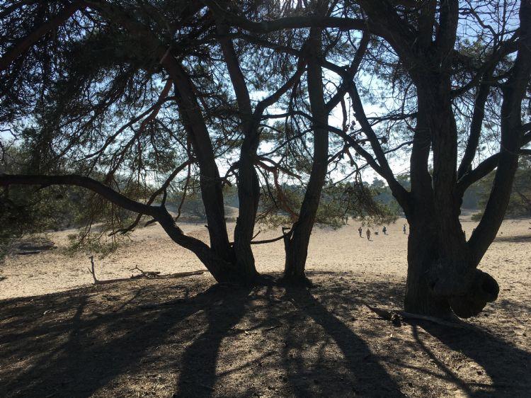 In de Loonse en Drunense duinen zijn ook al diverse dennenbomen omgewaaid, de zanderige ondergrond is zo droog dat wortels niet langer grip hebben.