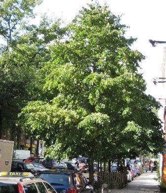 Corylus colurna als straatboom