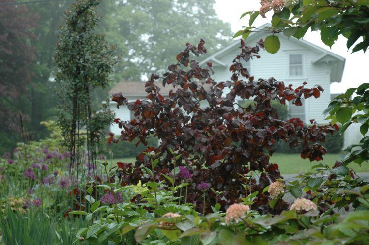 Corylus 'Purple Haze'