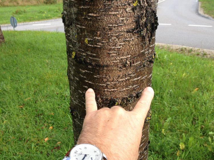 Rotonde Starnberg, kers met mycorrhiza
