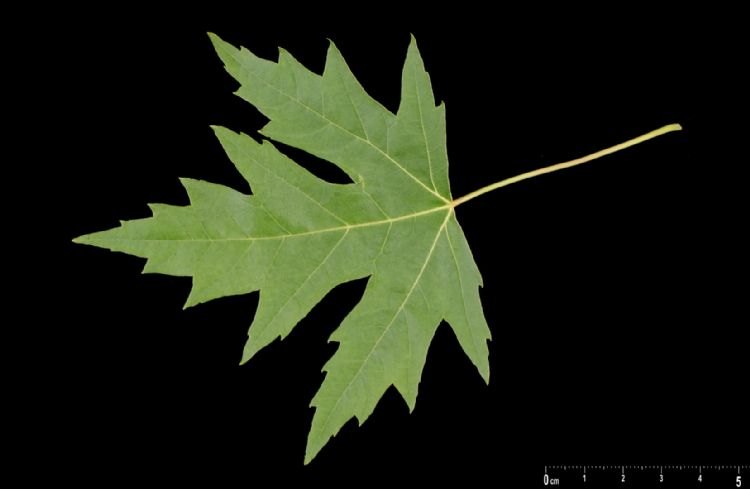 Acer betekent scherpe lobben van het blad