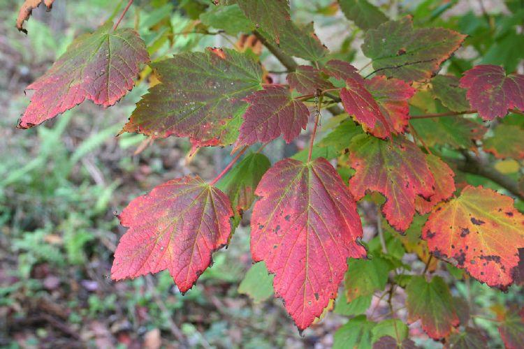 Acer spicatum herfstkleur