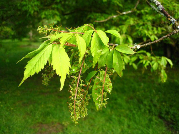 Acer cissifolium blad en bloeiwijze