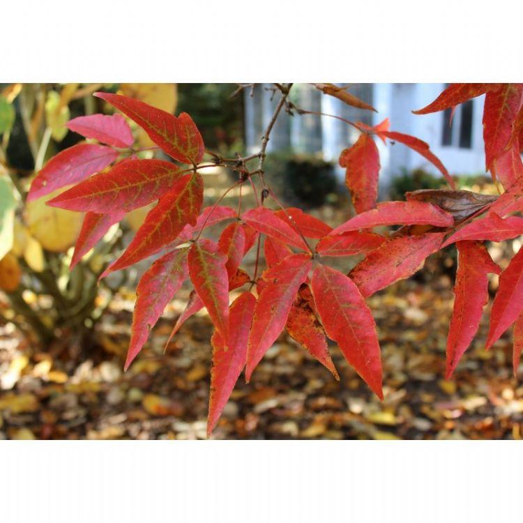 Acer triflorum herfstkleur