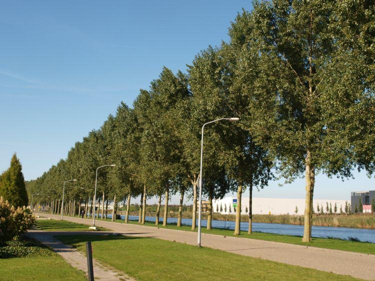 Populus canadenis Hees sol 2 Almere