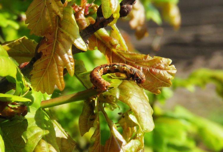 Grote wintervlinder, Erannis defoliaria
