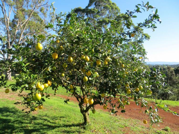 Citrus limon – halfvolwassen boom