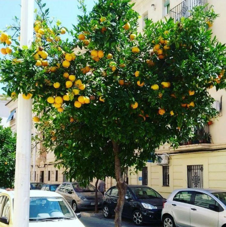 Citrus sinensis als straatboom