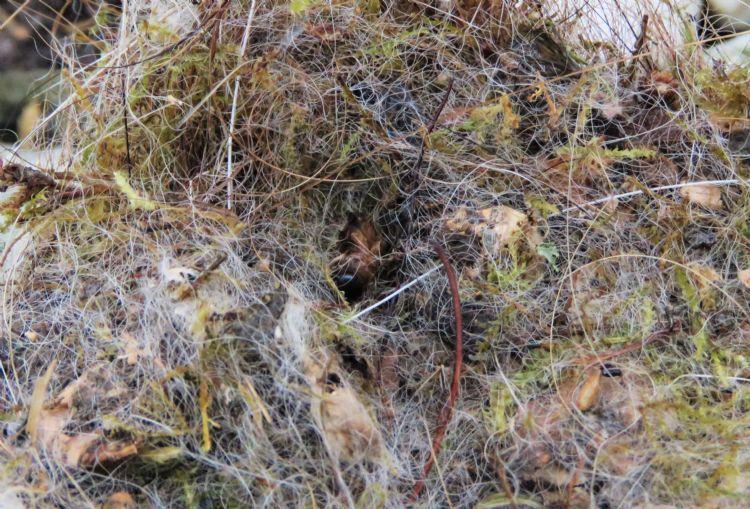 Restanten eikenprocessierups in mezen nestkastjes