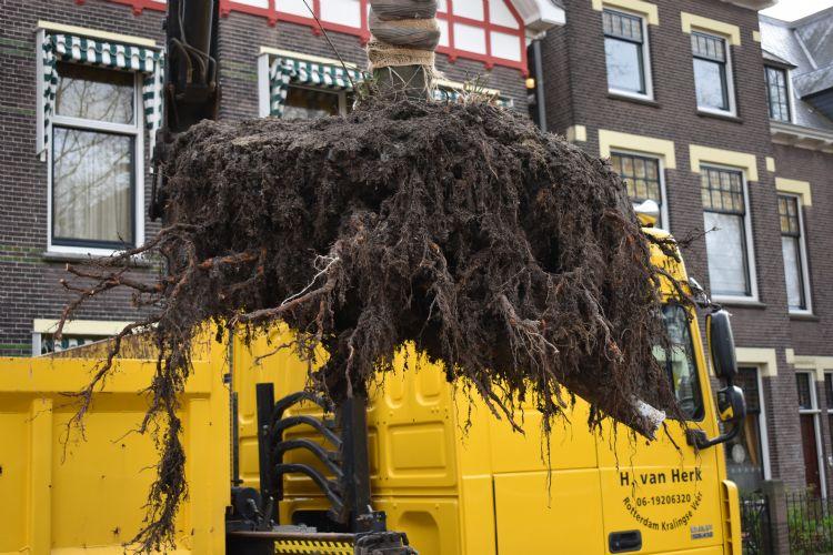 Straatman: 'Vanwege een herinrichting moesten deze bomen weg. We zagen dat de onderste laag van het granulaat onder water stond, maar dat de bomen er geen last van hadden gehad door de afwezigheid van capillaire werking.'