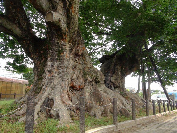 Gigantische Zelkova serrata in Japan