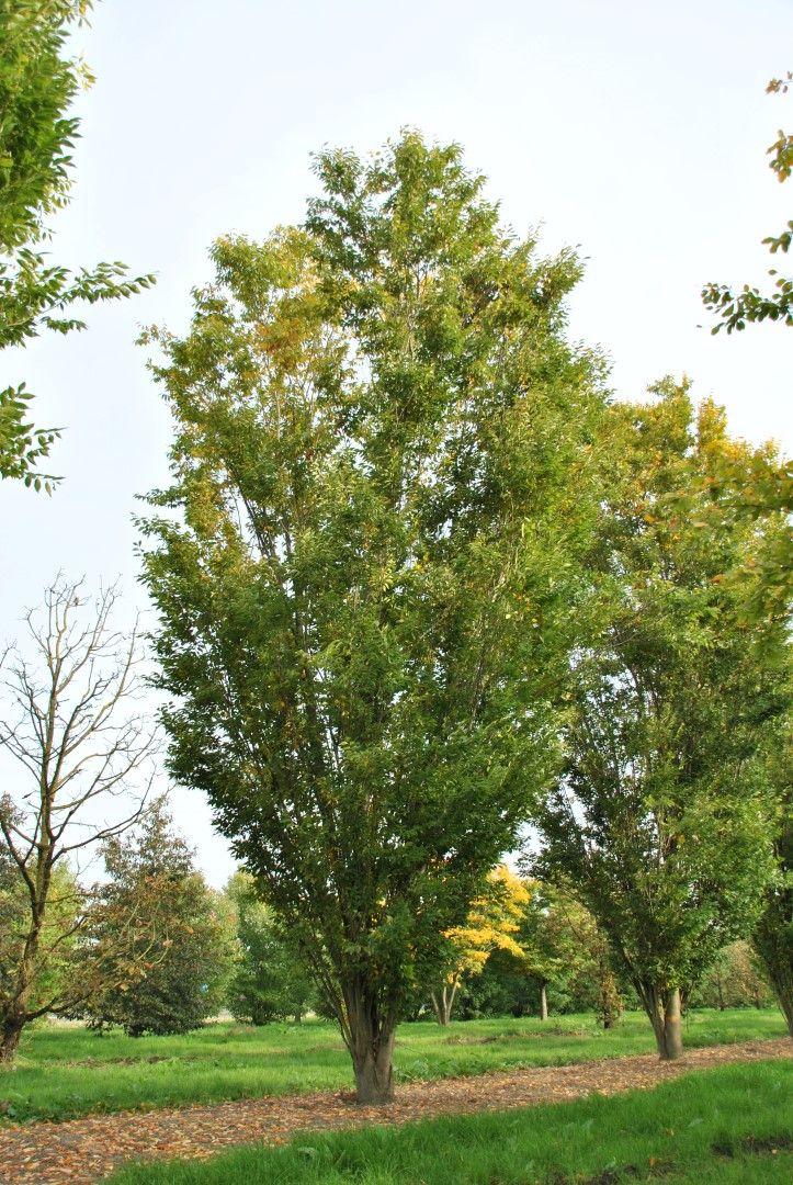 Zelkova carpinifolia 'Pyramidale'