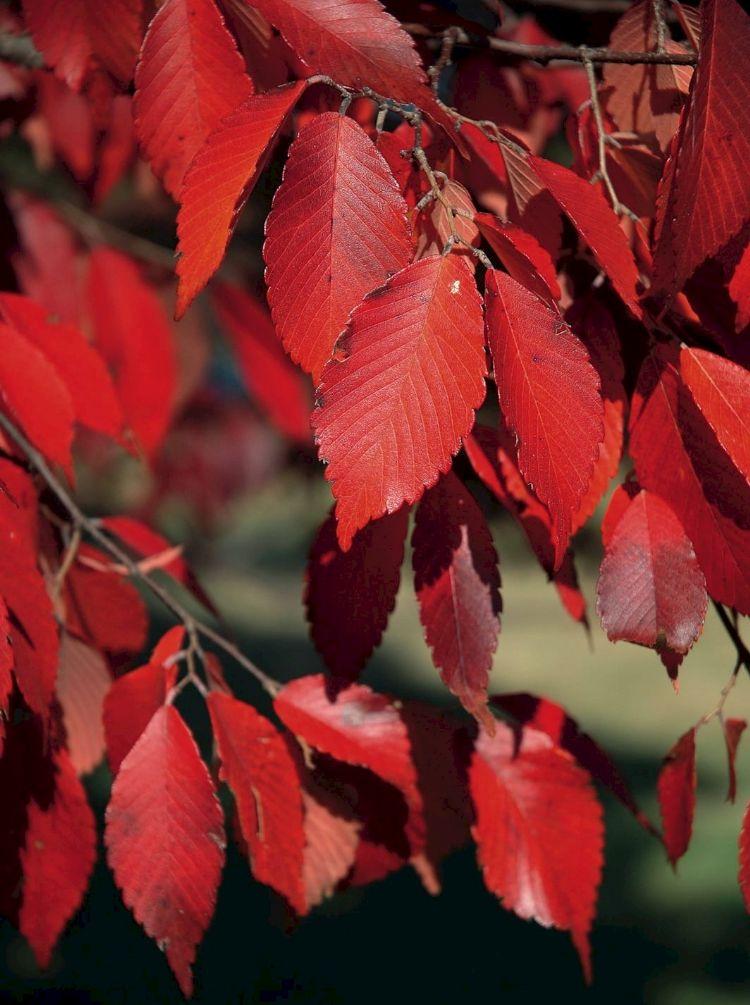 Herfstkleur van Zelkova schneideriana