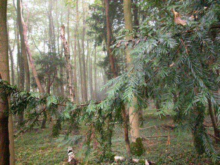 Zeldzaam bos met wilde #LTaxus$L in de Achterhoek bij Winterswijk (Gld.)