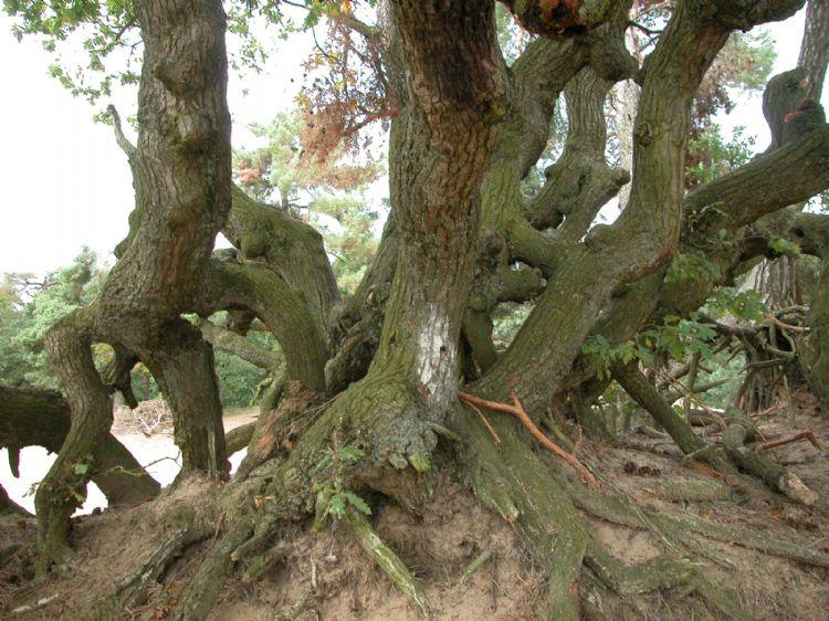 Uitgegroeid hakhout van een oude zomereik in de Loonse en Drunense Duinen (N.-Br.)