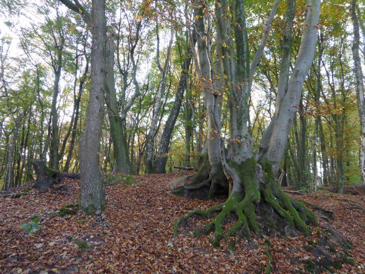 Oude boskern op de Sint-Jansberg (Noord-Limburg) met uitgegroeid hakhout van beuk en wintereik