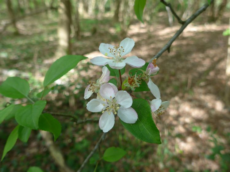 Bloeiende wilde appel in het Lieverder Noordbos (Dr.)