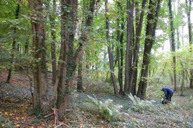 Het laatste lindebos in ons land, het Savelsbos in Zuid-Limburg, met zomerlinde en winterlinde