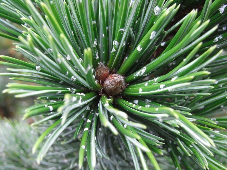 <i>Pinus</i> aristata met hars op de naalden