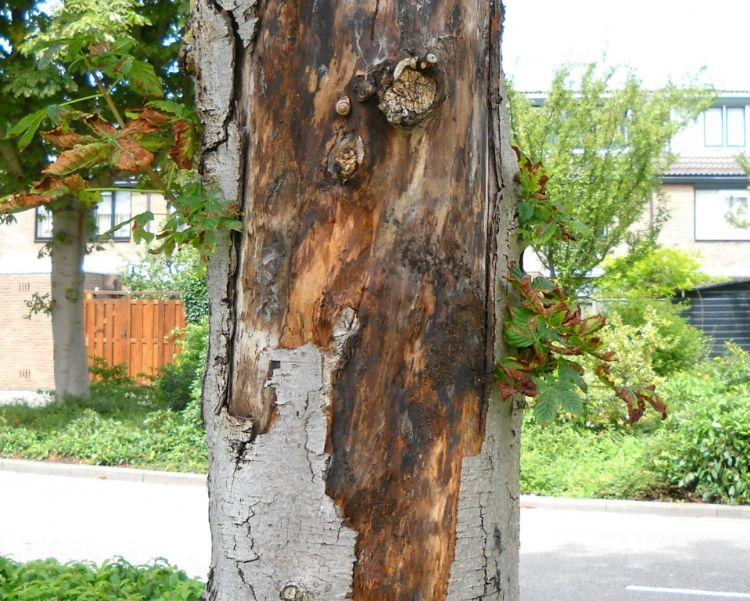 De boom in kwestie leed onder andere aan kastanjebloedingsziekte