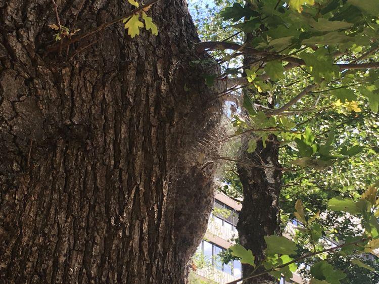 Op de foto een nest waarbij rupsen niet meer allemaal bij elkaar zitten. Wind kan hiervan mogelijk de oorzaak zijn.