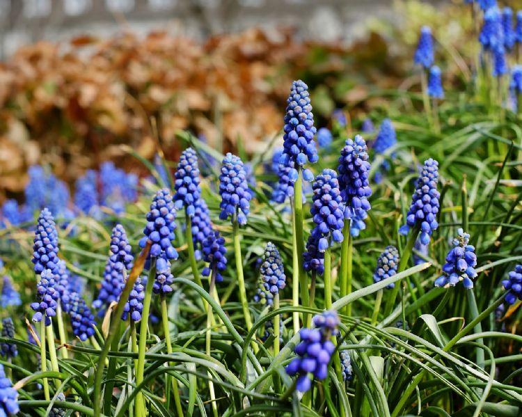 Gaasvliegen komen af op blauwe druif, een ideale natuurlijke vijand voor de eikenprocessierups.