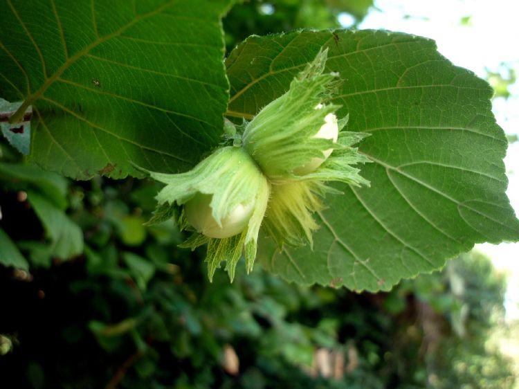 Corylus avellana vruchten in vruchthuls