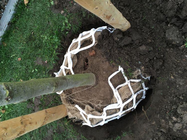 Plaats voor het planten een net om de kluit.