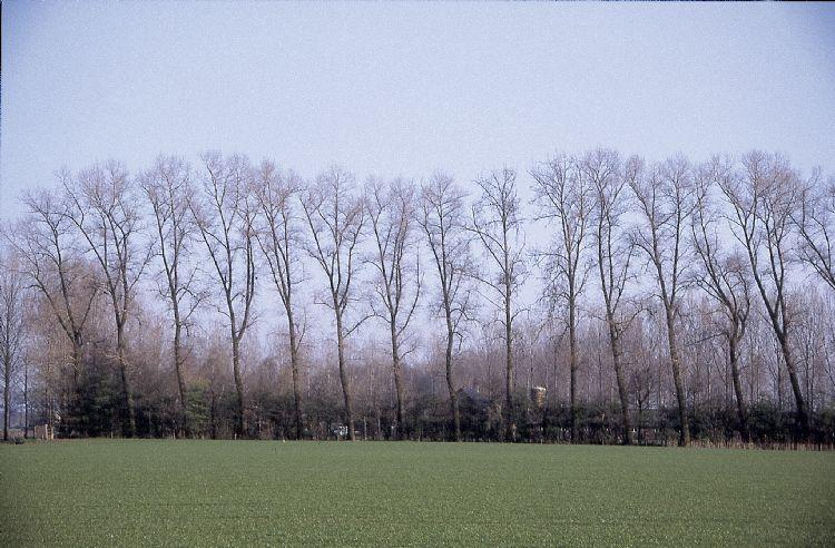 Populus canadensis Marilandica