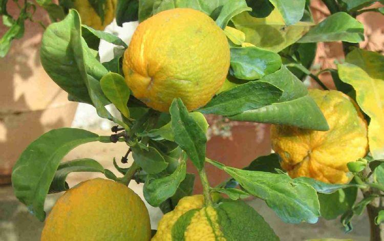 Vruchten van Citrus aurantium 'Bizzaria'