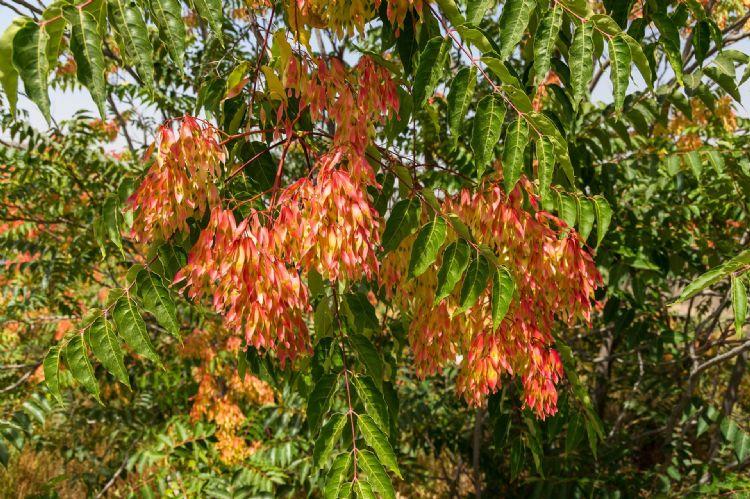 Hemelboom, van geliefde stadsboom naar invasieve exoot
