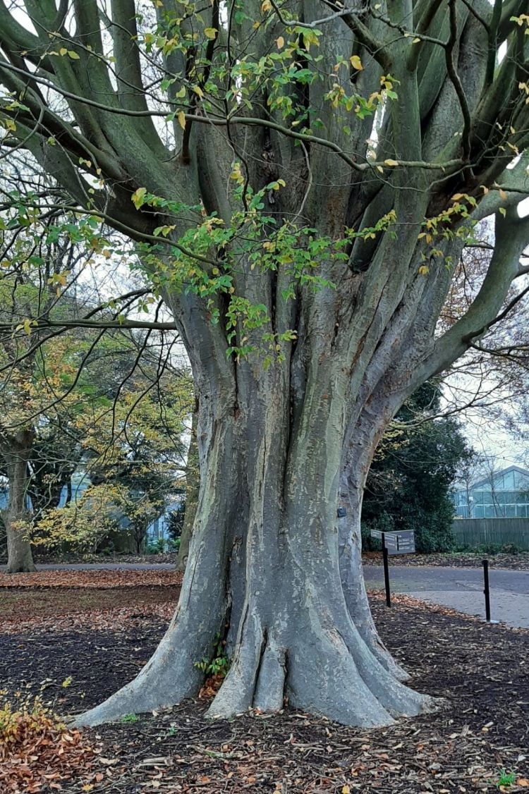 Stam van Zelkova carpinifolia