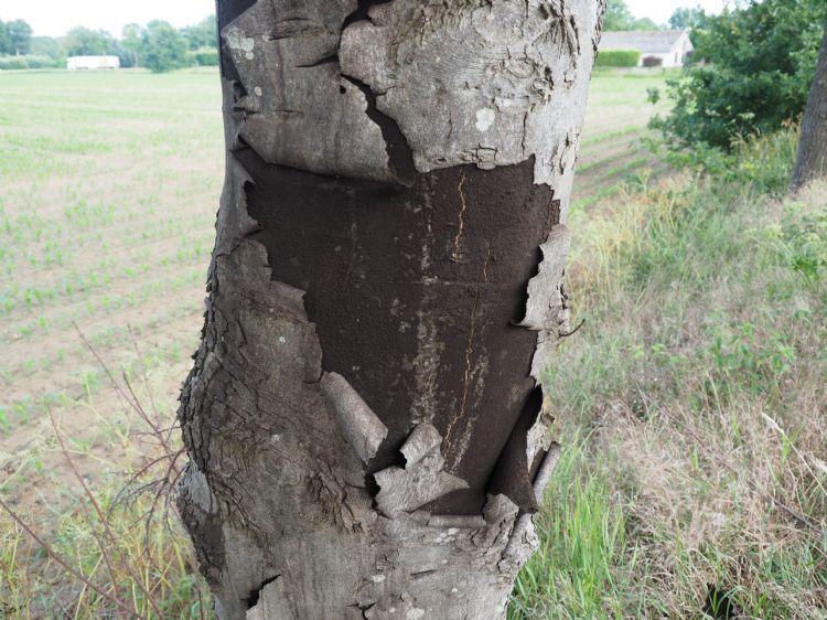 Roetschorsziekte, kurkcambium is opengesprongen en sporen verwaaien. Foto: Henry Kuppen