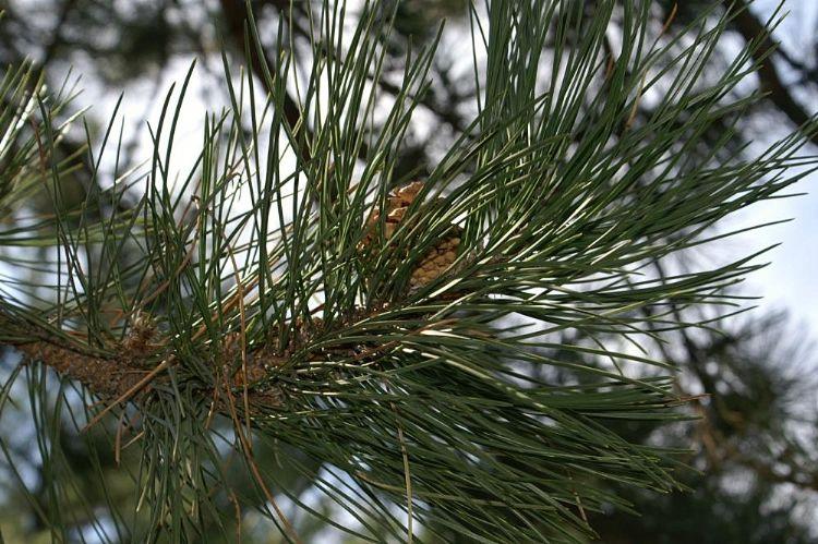 Pinus Nigra 'nigra'