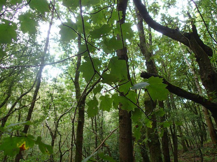 Elsbes (Sorbus torminalis). Foto: Phil Brandon Hunter