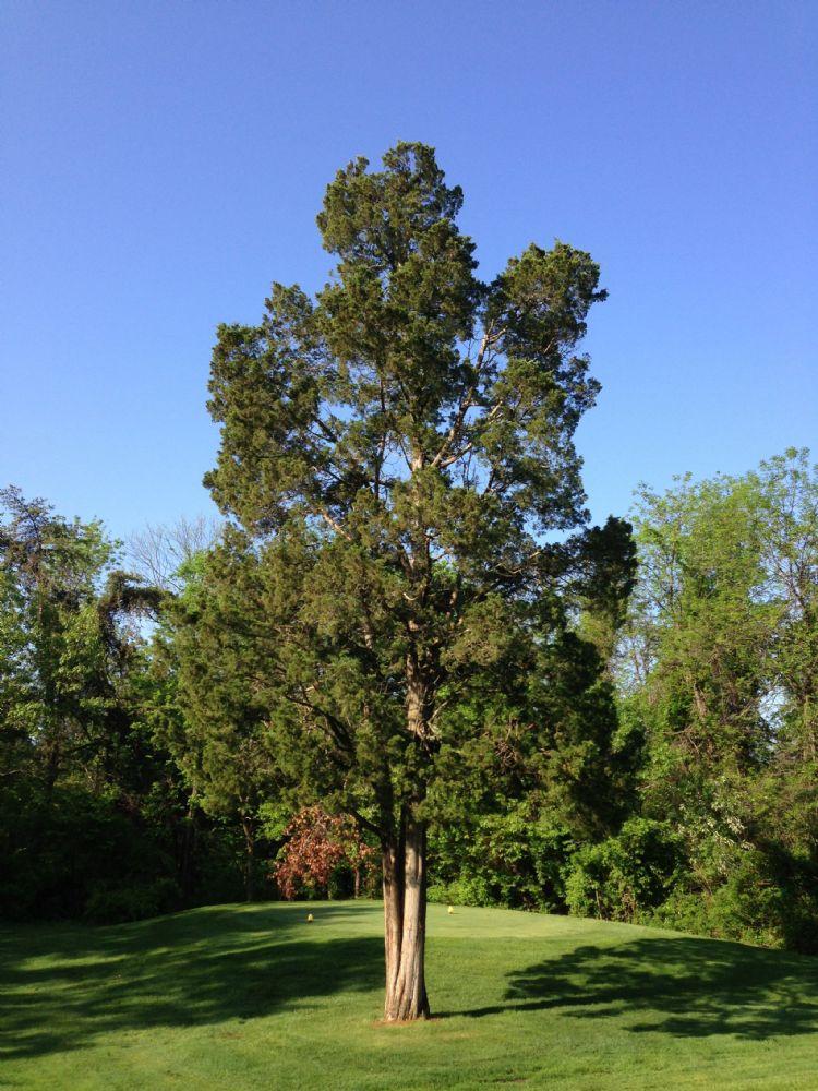 <i>Juniperus virginiana</i>: half volwassen boom